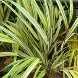 Hakonechloa macro Aureola (Grass) 2ltr