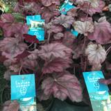 Heuchera Wild Rose - 1L pot