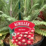 Achillea 'Red Velvet' - 3ltr