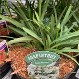 Agapanthus 'Double Diamond' 3ltr