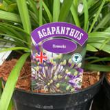 Agapanthus 'Fireworks' 3ltr