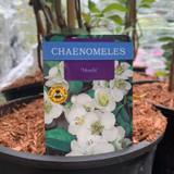Chaenomeles Nivalis (Japanese Quince) - 4ltr