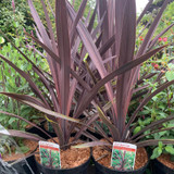 Cordyline 'Purple Tower' - 3ltr