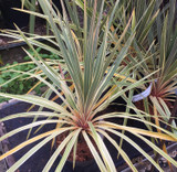 Cordyline 'Torbay Dazzler' - 1.5ft