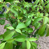 Cornus ang. 'Empress of China' (Dogwood) 3ltr