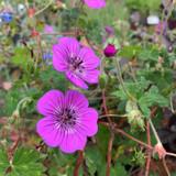 Geranium 'Pink Penny' - 3 ltr