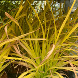 Carex elata 'Aurea' (Grass) - 2ltr pot