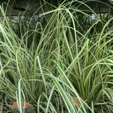 Carex oshim. 'Evergold'-(Grass) 2ltr pot