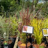 Imperata 'Red Baron' - (Grass) 3ltr pot