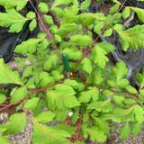 Koelreuteria paniculata 'Coral Sun' - 4ltr