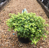 Pittosporum tenuifolium 'Gold Ball' - 5ltr
