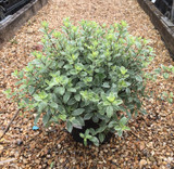 Pittosporum tenuifolium 'Silver Ball' - 5ltr