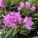 Rhododendron ponticum Variegatum - 5ltr