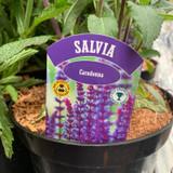 Salvia Caradonna - 3ltr