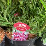Verbena bonarienses - 3ltr
