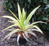 Yucca filamentosa 'Bright Star' -2ltr