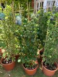 Hydrangea Petiolaris- 1.5 metre trellis