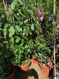 Parthenocissus quinquefolia (Virginia Creeper)- 1.5 metre trellis