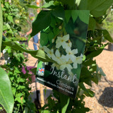 Jasminum 'Clotted Cream' (Jasmine) 150 -175cm