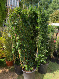 Lonicera Copper Beauty (Honeysuckle)- 2.4 metre trellis