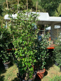 Trachelospermum jasminoides (Star Jasmine)- 2.4 metre trellis