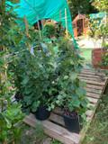 Hydrangea Petiolaris-1- 1.25m cane