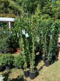 Solanum Jasminoides Album -150-175cm on cane