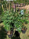 Trachelospermum jasminoides (Star Jasmine)- 1.2 metre trellis
