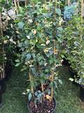 Trachelospermum 'Star of Toscane' (Star Jasmine)- 1.2 metre trellis