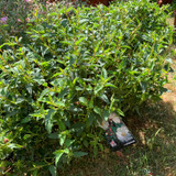 Cistus corbariensis - 7.5ltr pot