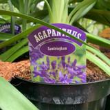 Agapanthus 'Sandringham' 3ltr