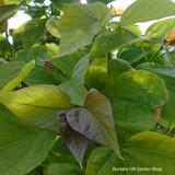 Catalpa big. 'Nana' (Indian Bean Tree).