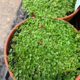 Mint Corsican (11cm)