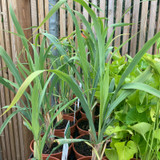 Lemon Grass (11cm)
