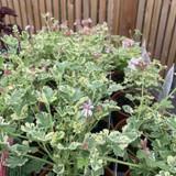 Pelargonium 'Fragrans Variegatum' (11cm)