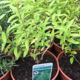 Lemon Verbena Balm (14.5cm)