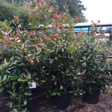 Photinia 'Red Robin' - 5.5-6ft
