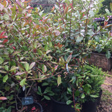 Photinia 'Red Robin' - 5-5.5ft