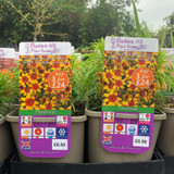 Coreopsis verticillate Sizzle & Spice 'Curry Up' 3ltr pot