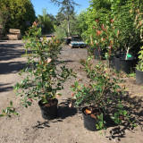 Photinia 'Red Robin' - 3-4ft
