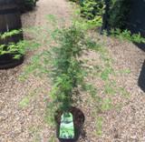 Acer palmatum 'Emerald Lace' 18.5ltr