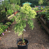 Cryptomeria japonica 'Japanese Cedar' - mini standard 3ft