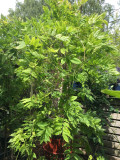 Wisteria floribunda 'Alba' - 1.8 tripod canes