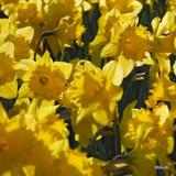 Yellow Trumpet Daffodil 'Brabazon' (sim pic)