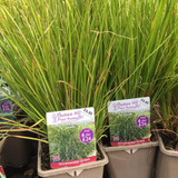 Carex comans 'Pheonix Green' (Grass) 3ltr pot