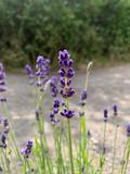 Lavender 'Imperial Gem'
