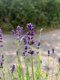 Lavender 'Imperial Gem' x 3