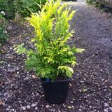 Thuja plicata 'Goldy' (Western Red Cedar) - 3ltr plant