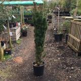 Taxus baccata 'Fastigiata Robusta' (Irish Yew) 4.5-5ft