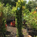 Taxus baccata 'Fastigiata Aurea' (Golden Irish Yew)  6.5ft